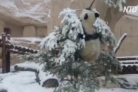 Панда развлекается: как Диндин упала с ёлки в Московском зоопарке