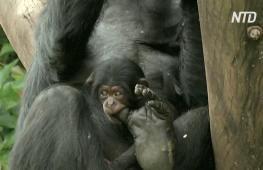 В зоопарке Сан-Паулу представили детёныша шимпанзе