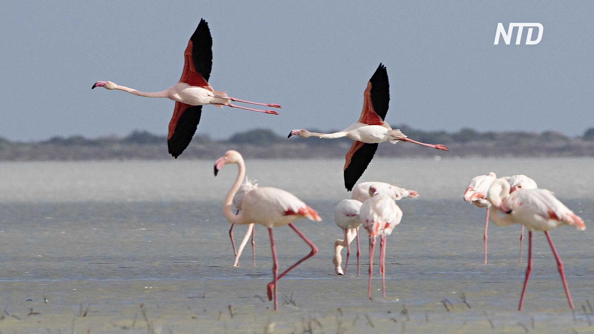 Тысячи розовых фламинго прилетели на кипрское озеро Ларнака