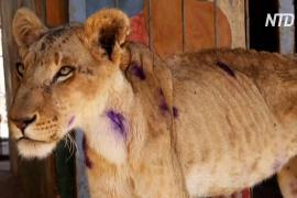 В Судане пытаются спасти истощённых львов, обнаруженных в клетках