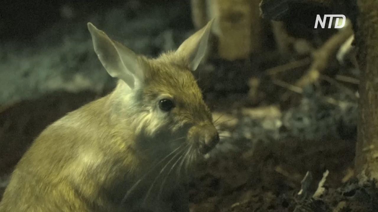 В Лондонском зоопарке живут редкие грызуны воалаво