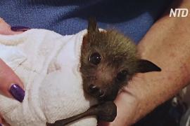Австралийка спасает летучих лисиц после пожаров