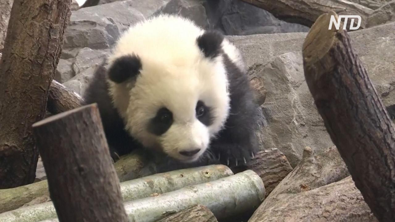 Падения и кувырки: детёныши панды дебютируют в Берлинском зоопарке