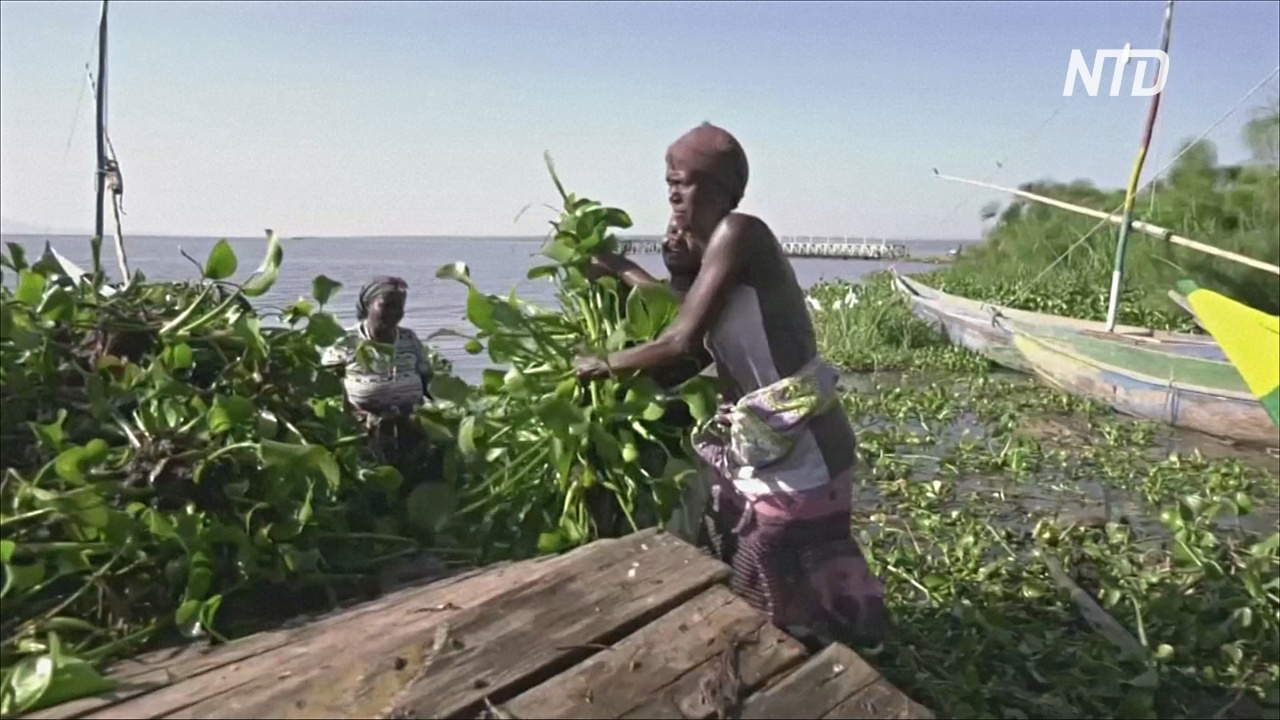 Инвазивное водное растение в Кении превращают в удобрение