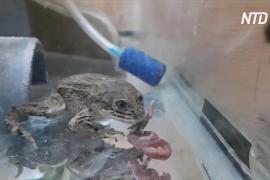Чилийские учёные спасают лягушек лоа от вымирания