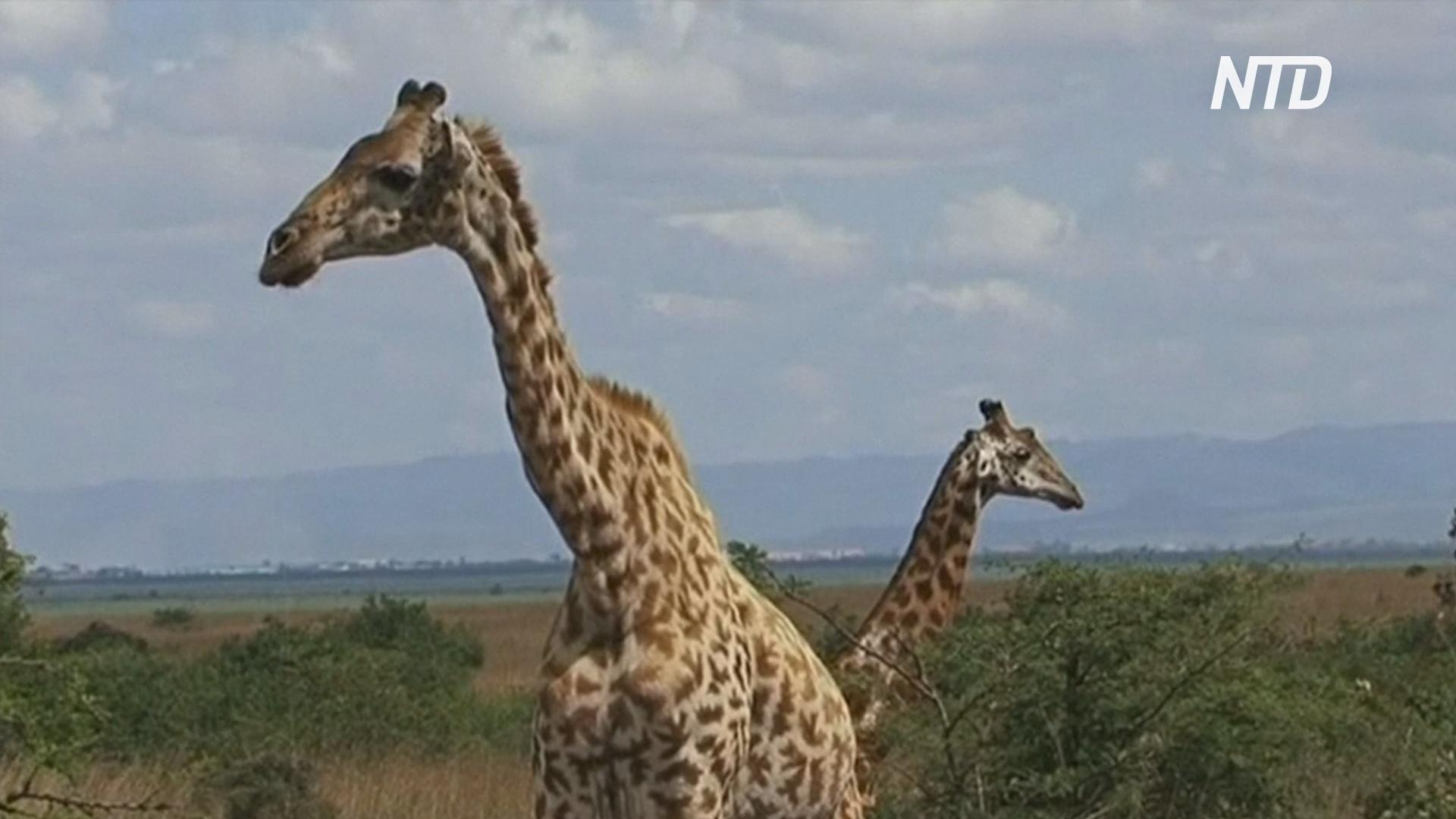 В Таиланде во время перевозки сбежали два жирафа