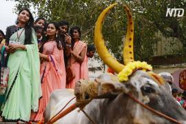 «Лохри» и «Понгал»: по всей Индии празднуют сбор урожая
