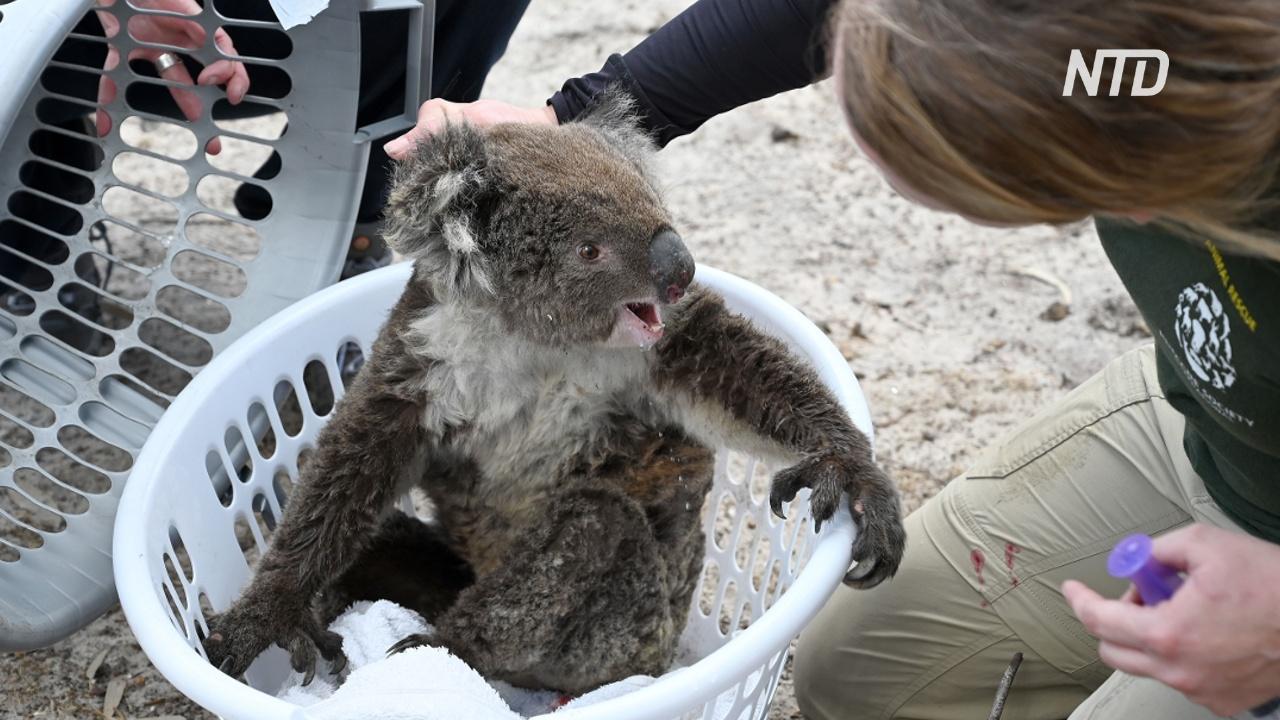 В Австралии лечат коал от ожогов и делают домики для опоссумов
