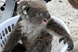 После пожара: коал лечат от ожогов, а для опоссумов делают домики