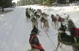 В Чехии выпал снег, и гонки на ездовых собаках не отменили
