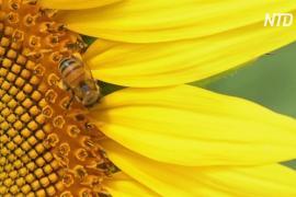 В Мексике плантации подсолнухов спасают пчёл от голода