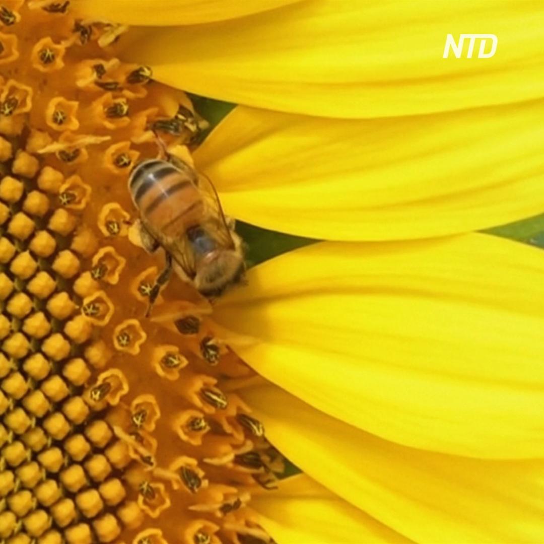 Как плантации подсолнухов спасают пчёл от голода