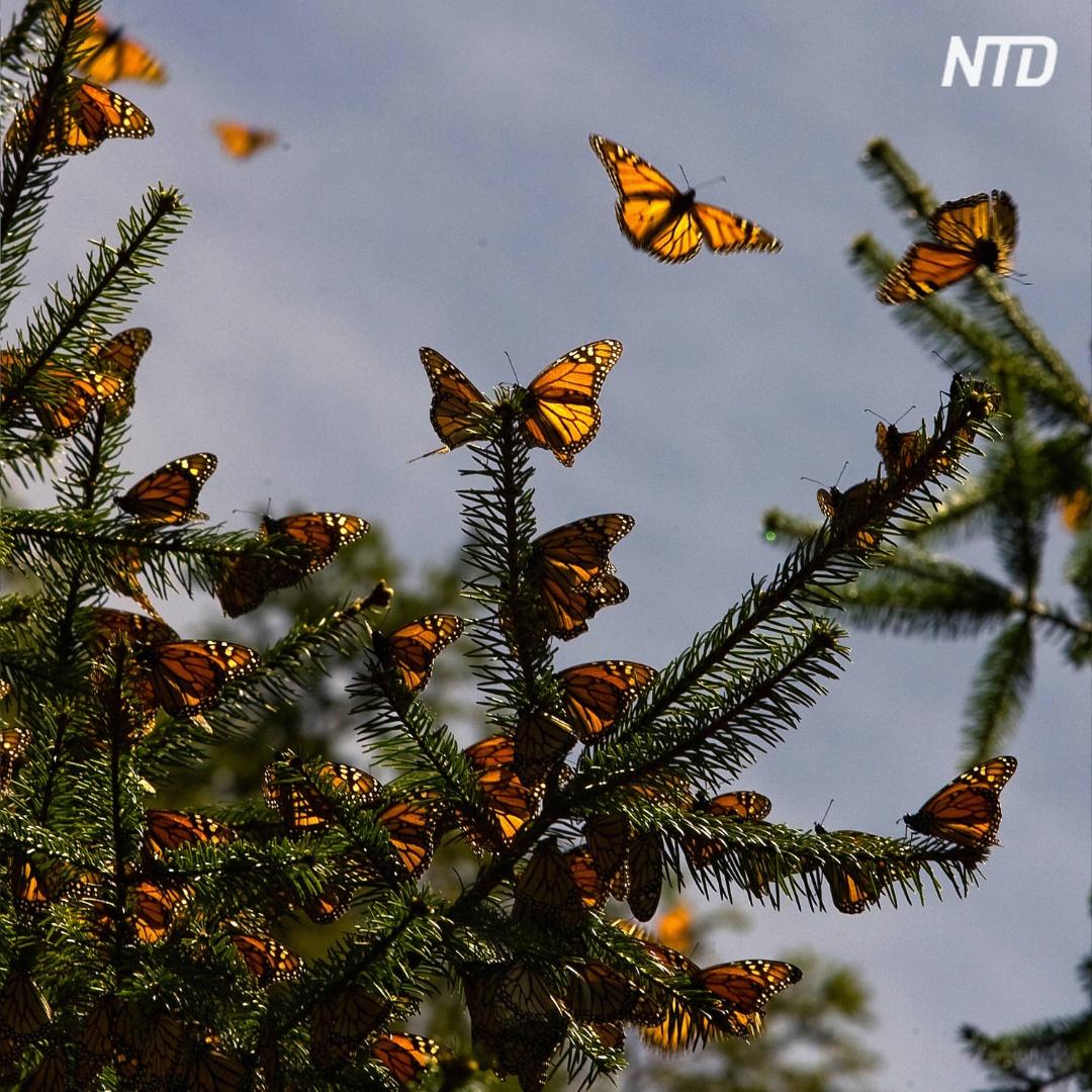 Сказочный лес: в Мексику прилетели миллионы бабочек-монархов