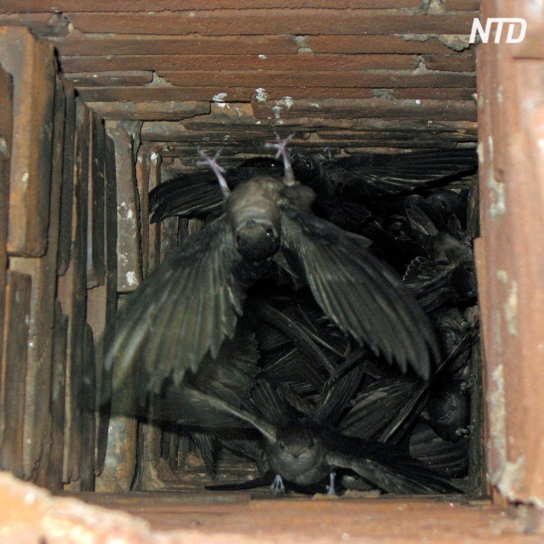 Как имитации печных труб помогут спасти птиц иглохвостов?