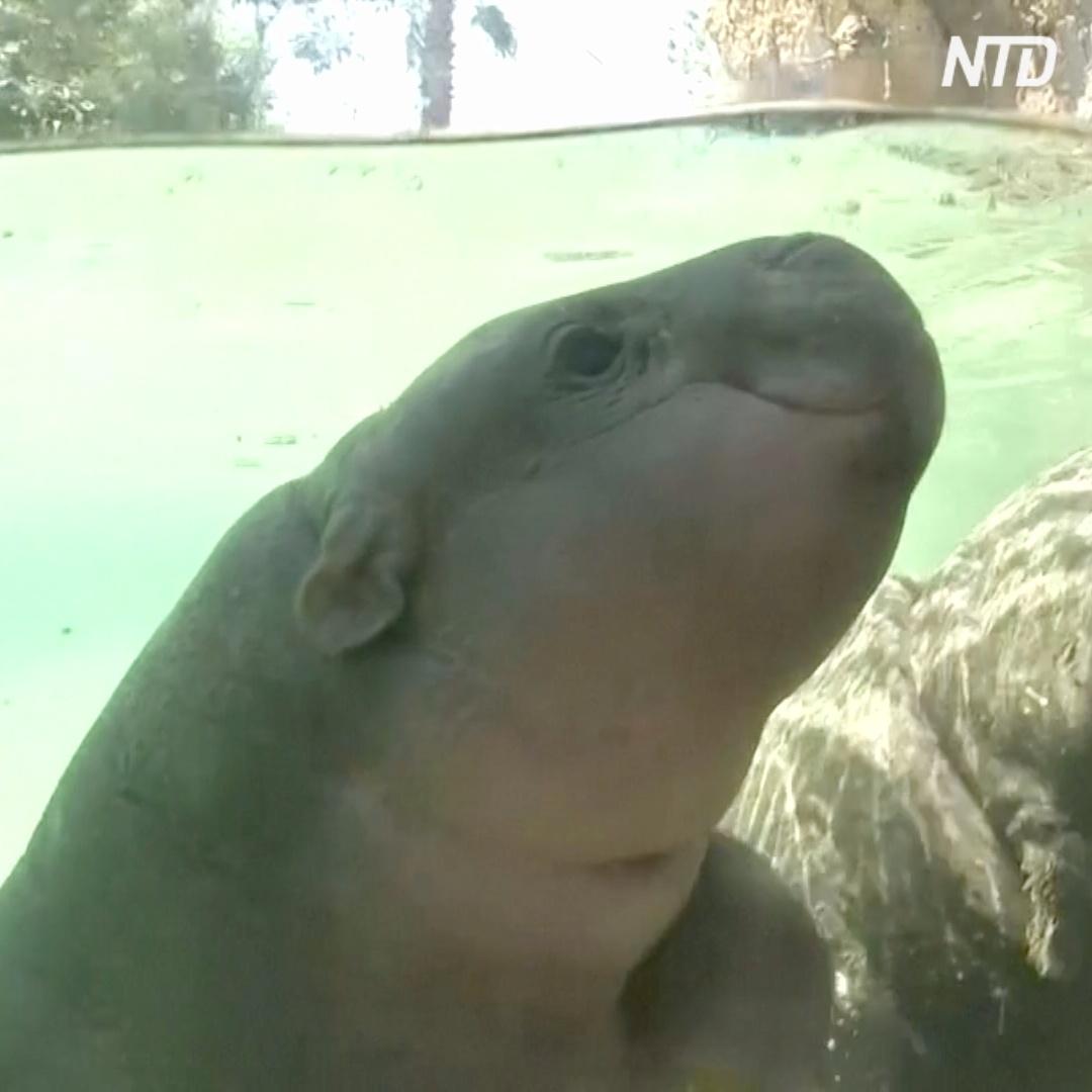 Новорождённого карликового бегемота показали публике в Чили