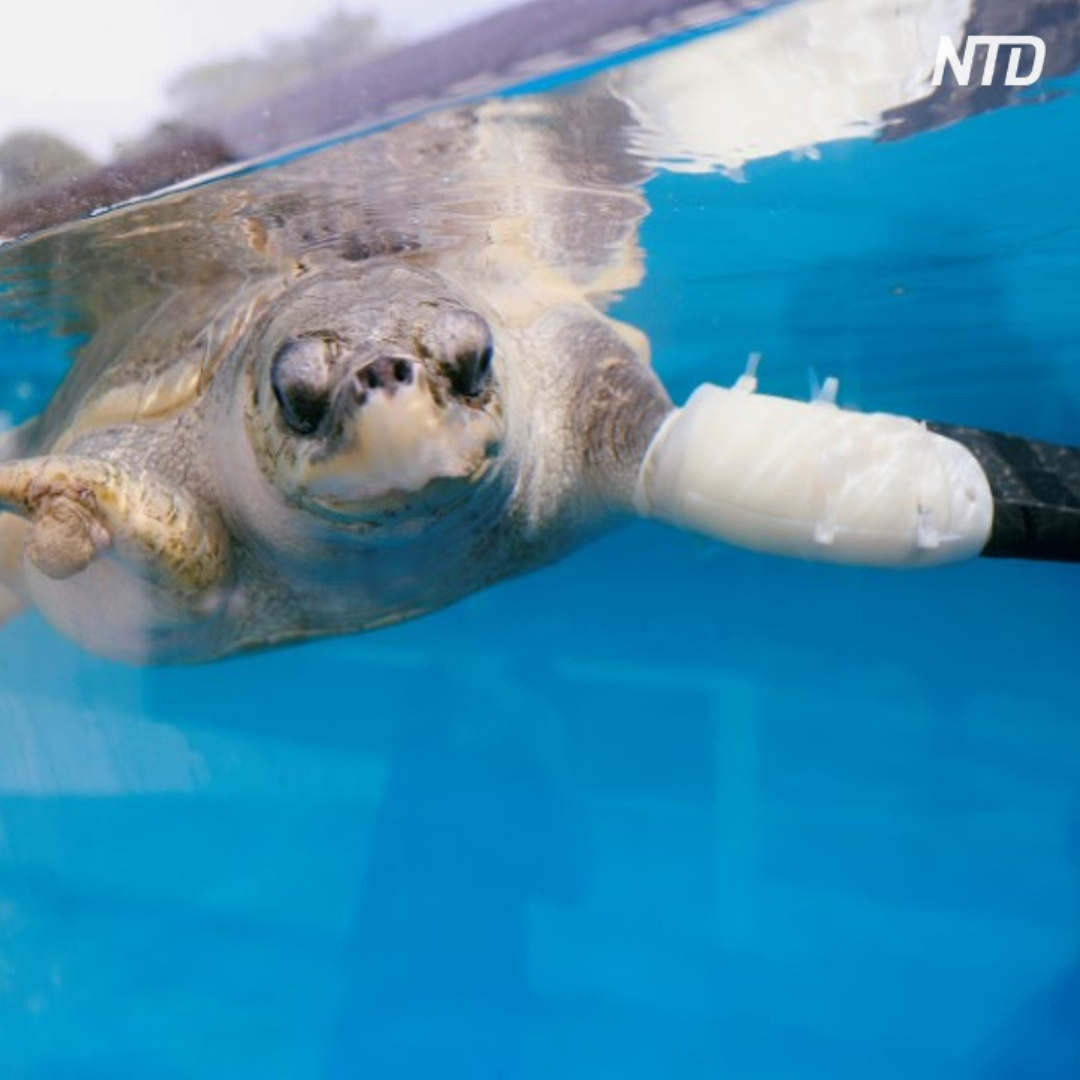 Искусственный ласт для черепахи впервые создали в Таиланде