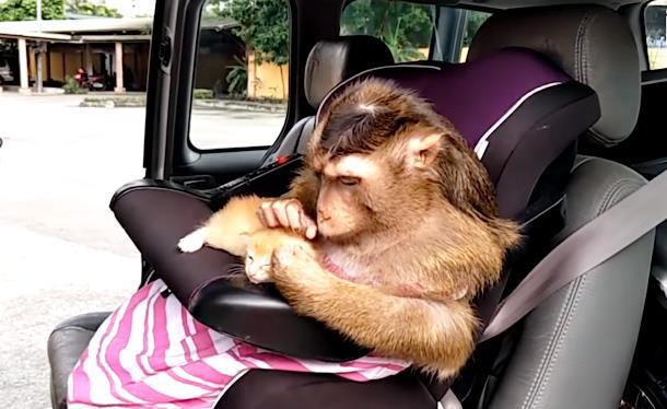 Может ли обезьяна быть няней