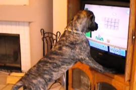 Собаки смотрят телевизор. Забавное видео
