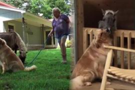 Собака поддержала испуганную мини-лошадь. Трогательное видео