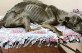 Почему ветеринар расплакалась, увидев питбультерьера