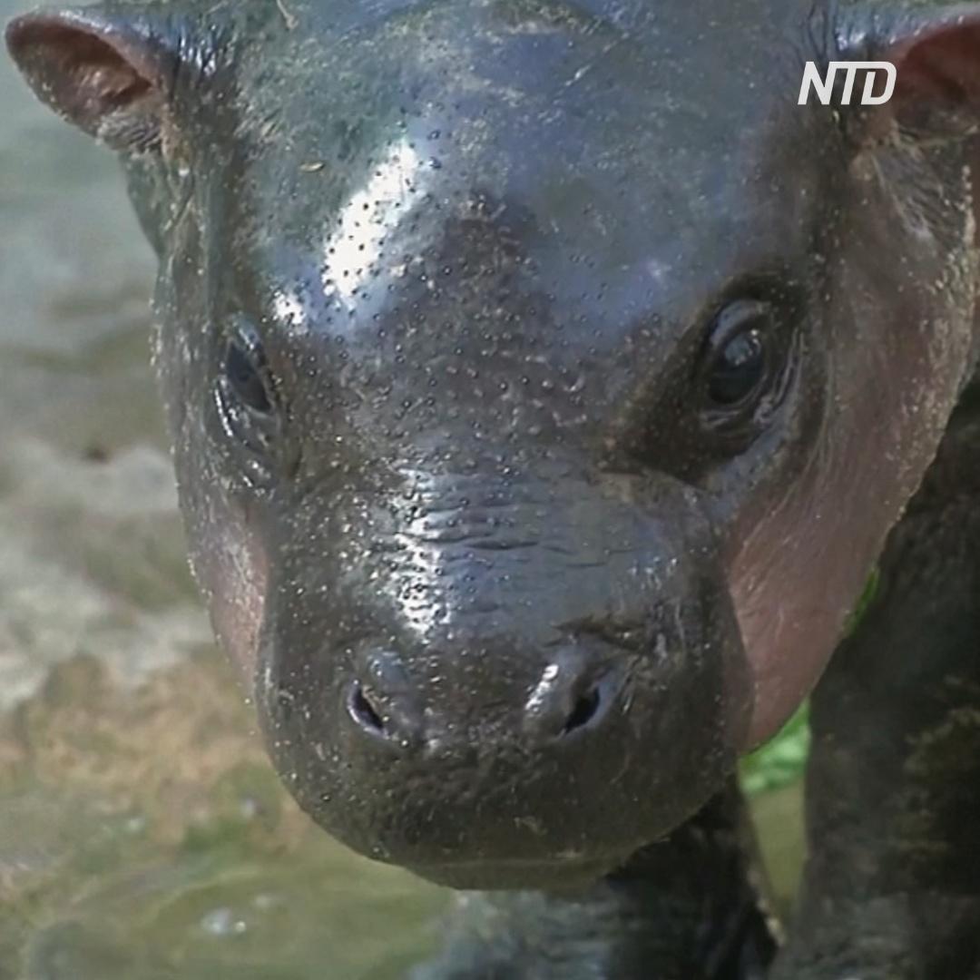 Странные имена: как назовут тайского карликового бегемотика?