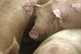 В южнокорейском городе подсчитывают убытки из-за африканской чумы свиней