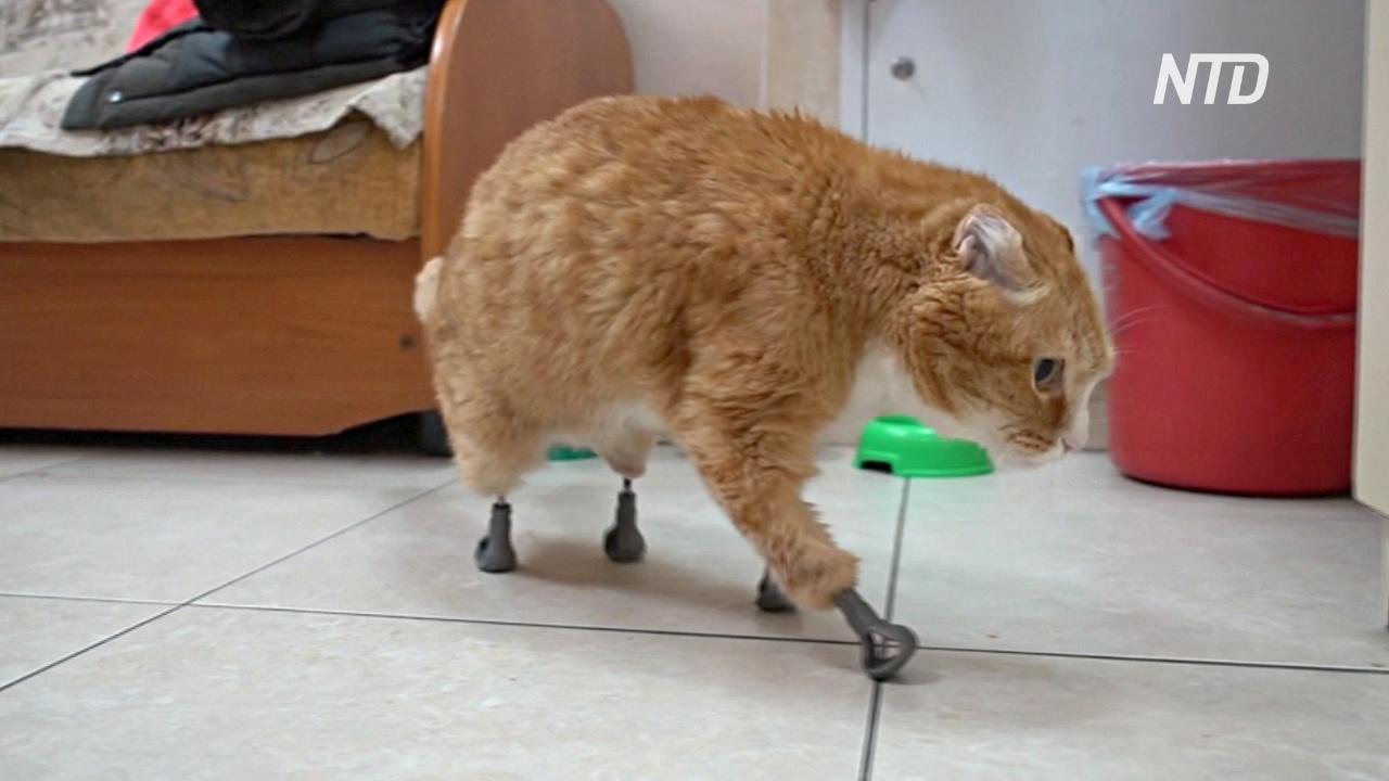 Российский ветеринар сделал протезы-имплантаты для кошек без лап