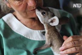 После лесного пожара муж с женой приютили дома кенгурят