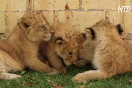 В мексиканском зоопарке празднуют рождение сразу трёх львят
