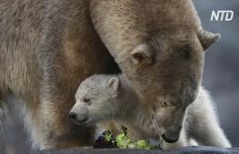 Белый медвежонок в венском зоопарке впервые увидел мир