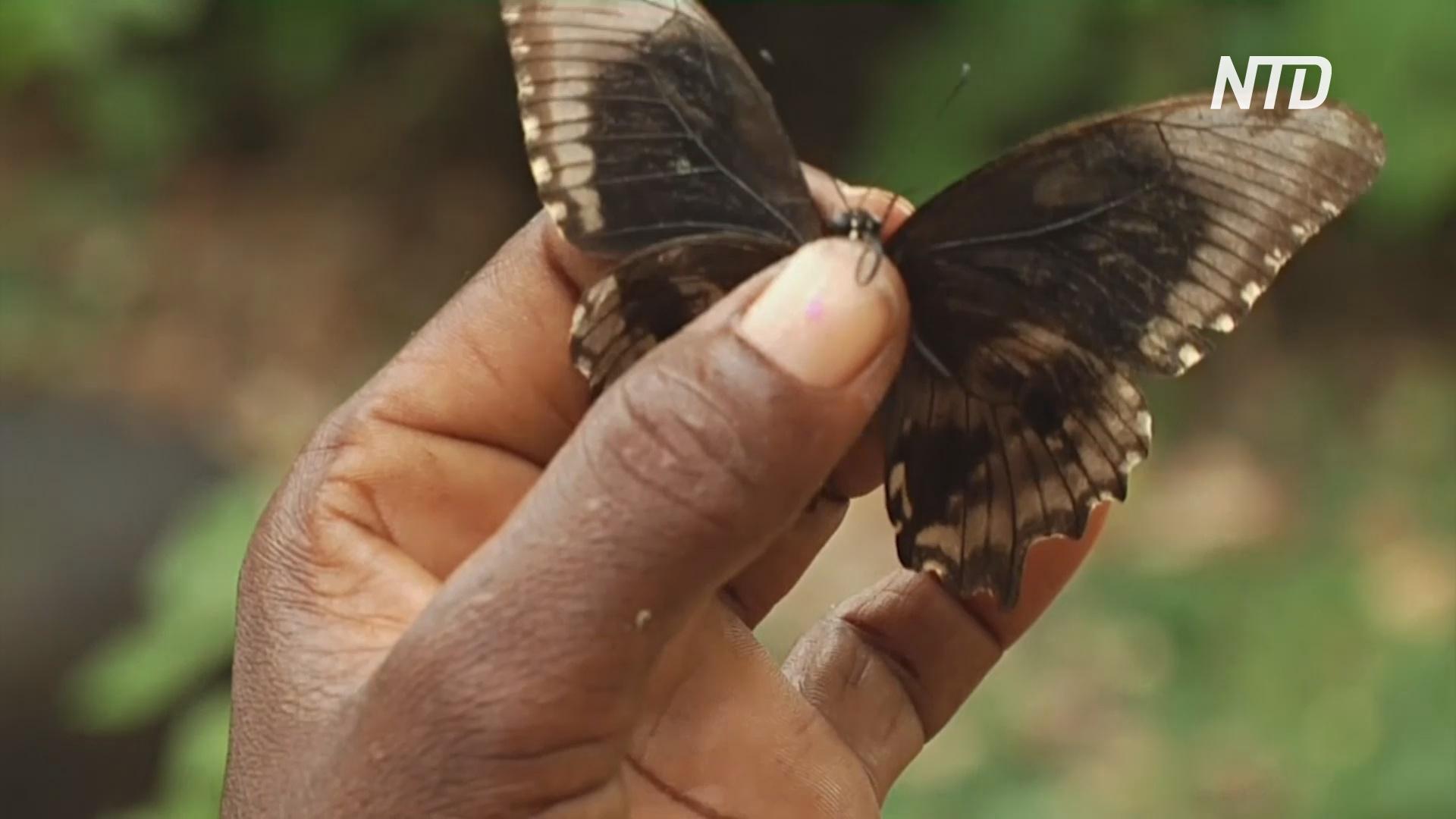 Кенийские женщины выращивают бабочек и сохраняют лес