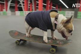 Бульдог-скейтбордист Соня покоряет скейтпарки в Челябинске