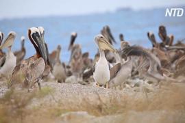 В США восстановили остров размножения пеликанов, пострадавший после разлива нефти