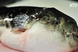 В Японии надеются продавать больше рыбы фугу во время Олимпиады