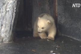Белый медвежонок впервые вышел на публику в зоопарке Дании