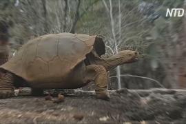 На Галапагосах нашли родственницу черепахи Одинокий Джордж