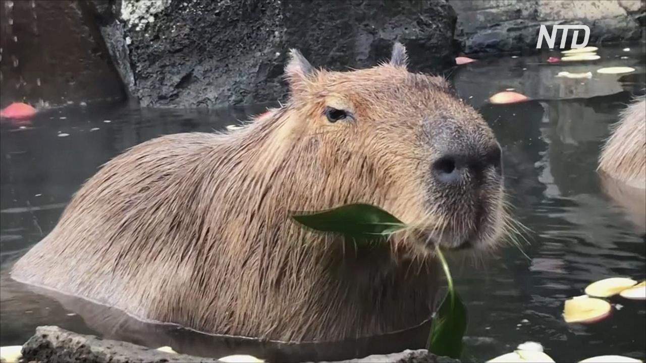 Горячая ванна и угощения: как капибары расслабляются в японском зоопарке