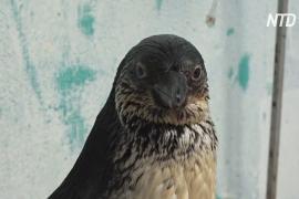 У семьи в Перу изъяли двух прирученных пингвинов