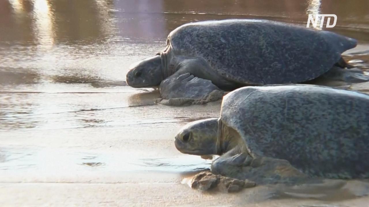 В Мексике черепахи, пострадавшие из-за красного прилива, вернулись в океан