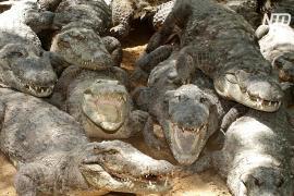 На западе Индии началась перепись крокодилов