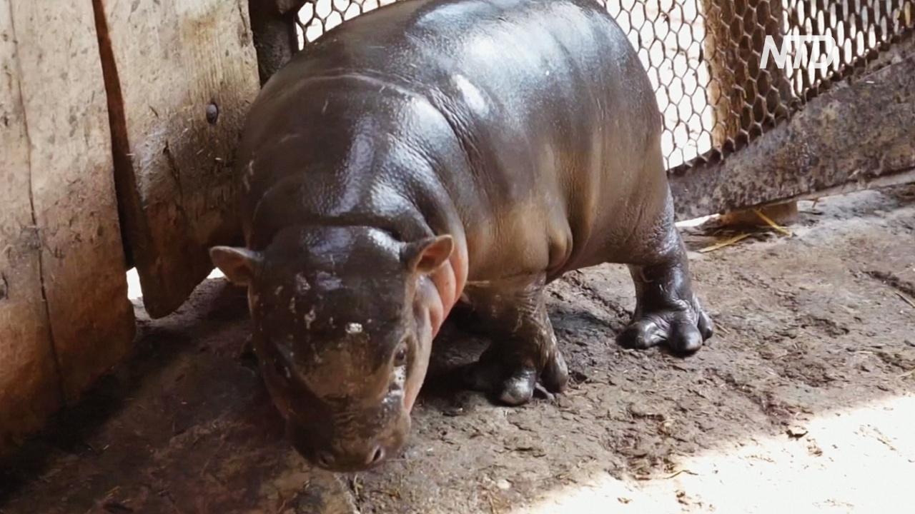 В венгерском зоопарке вышел на публику детёныш карликового бегемота