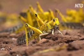ООН: нашествие саранчи – беспрецедентная угроза для Восточной Африки