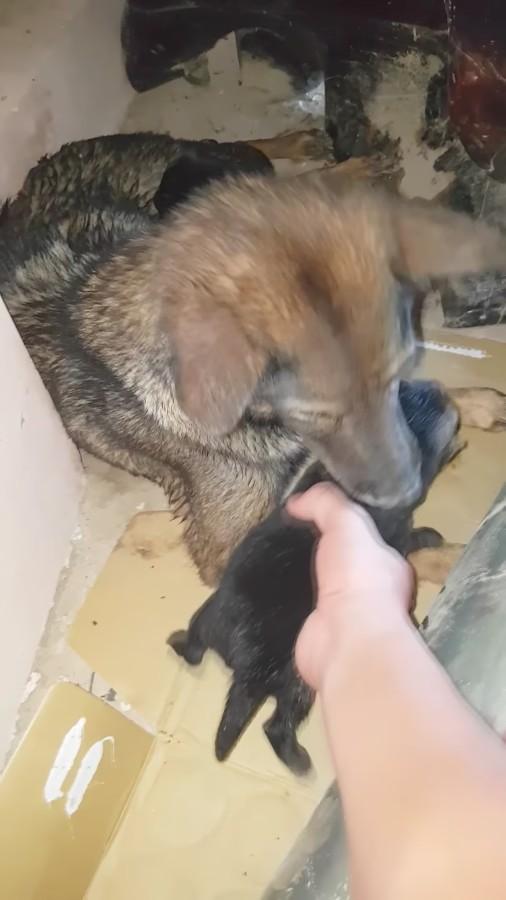 9 - Как собака спасала щенков из затопленного логова