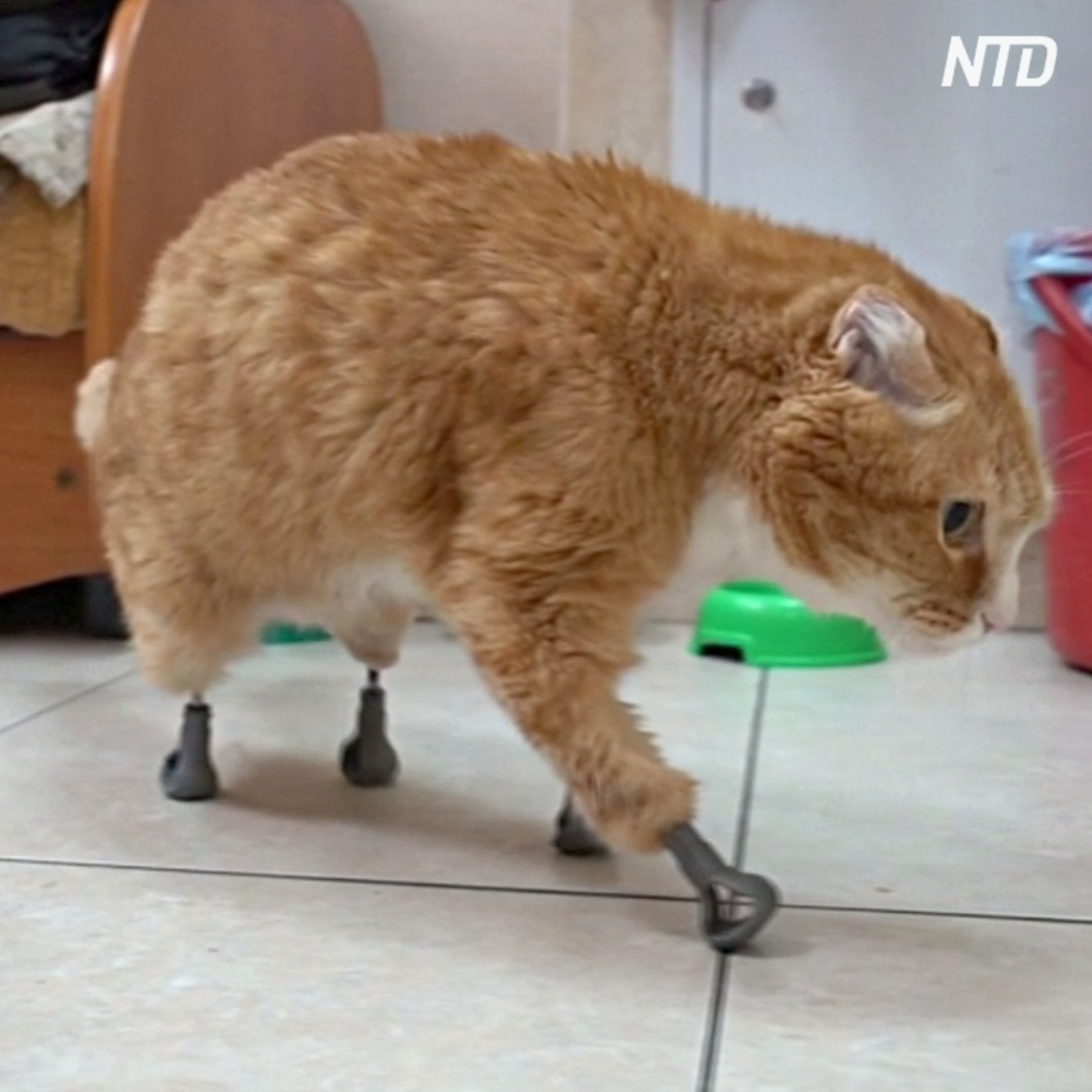 Ветеринар из Новосибирска вживил протезы кошкам без четырёх лап