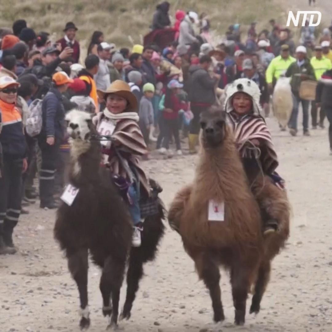 В скачках на ламах в Андах участвуют только дети