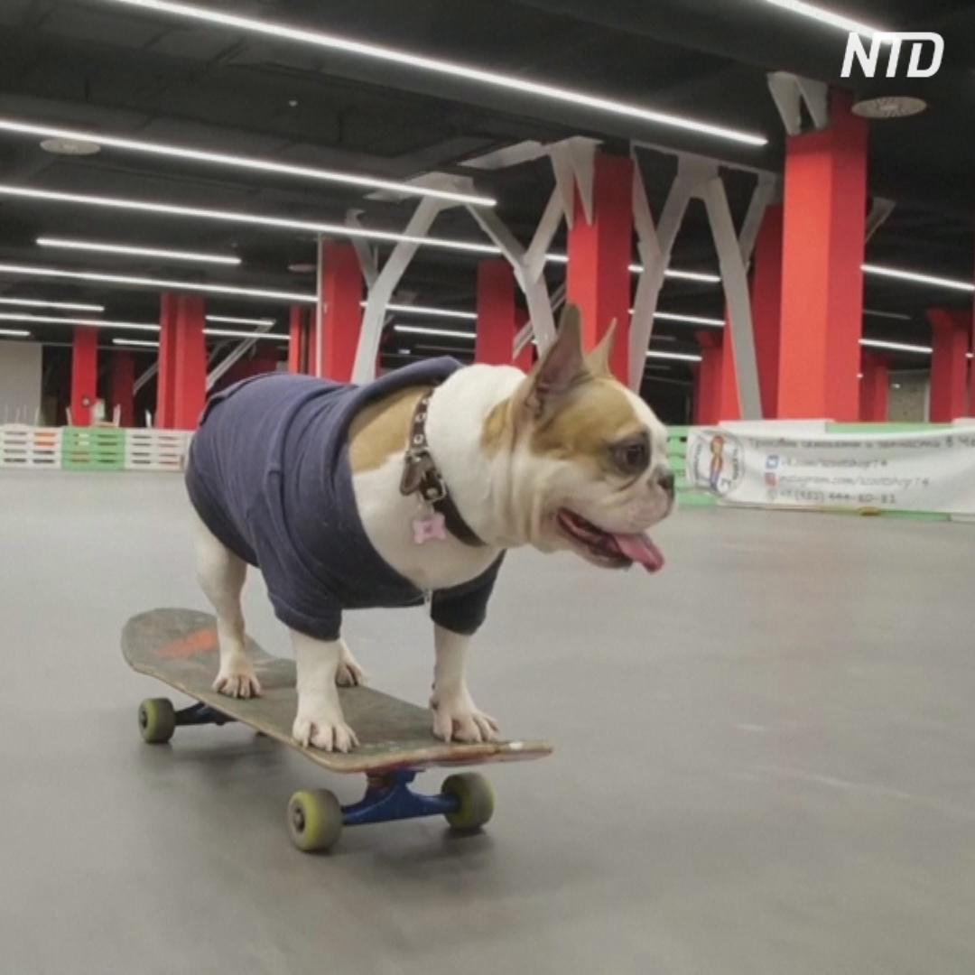 Бульдог Соня из Челябинска катается на скейтборде