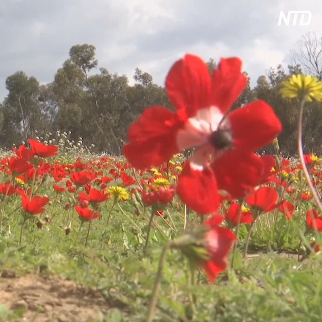 Ковры из анемон появились в пустыне Негев