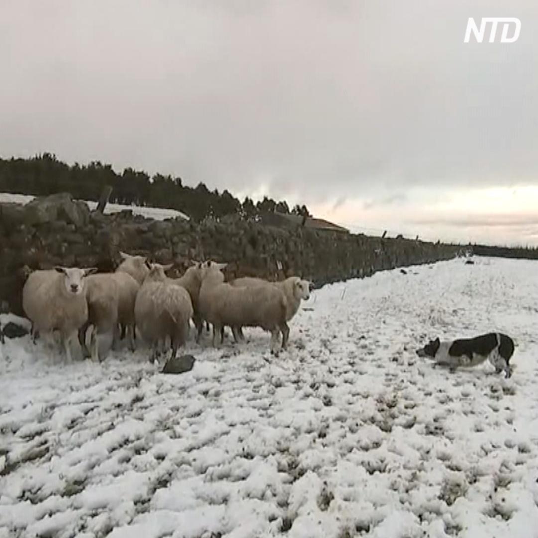 Сколько заплатили за самую дорогую пастушью овчарку в мире?