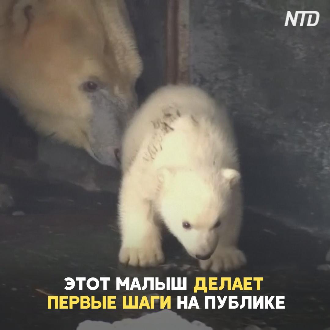 Белый медвежонок в зоопарке Копенгагена впервые познаёт мир