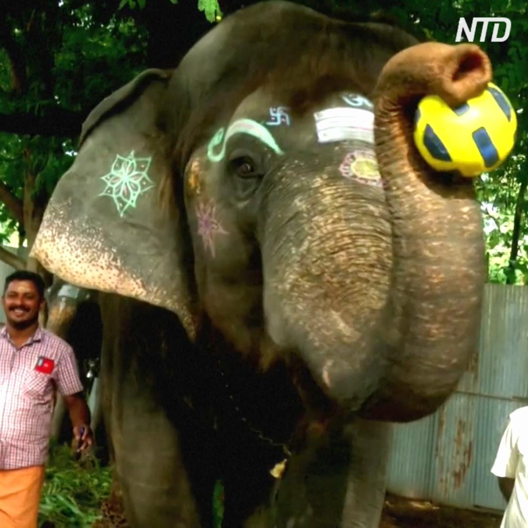 Как храмовые слоны играют в футбол и дуют в губную гармошку